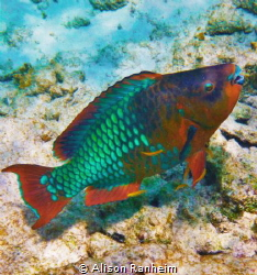 Parrotfish at the cleaners. by Alison Ranheim